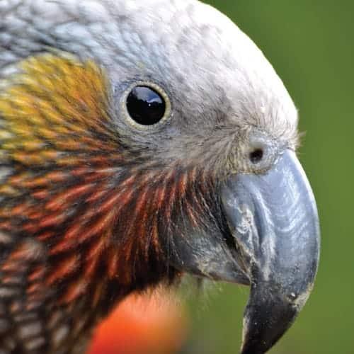 Ulva Island Birds