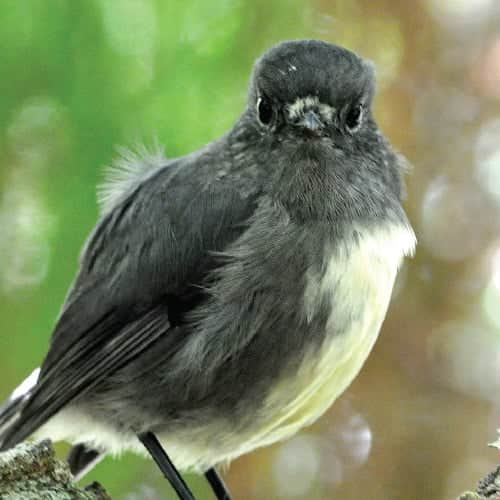 Birdlife on Stewart Island, New Zealand