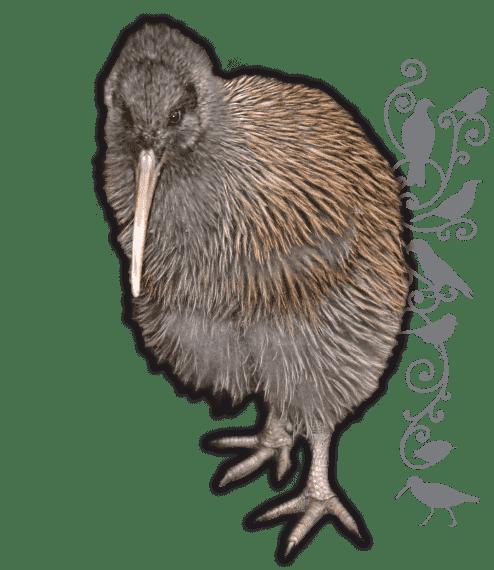 Ulva Island Kiwi spotting