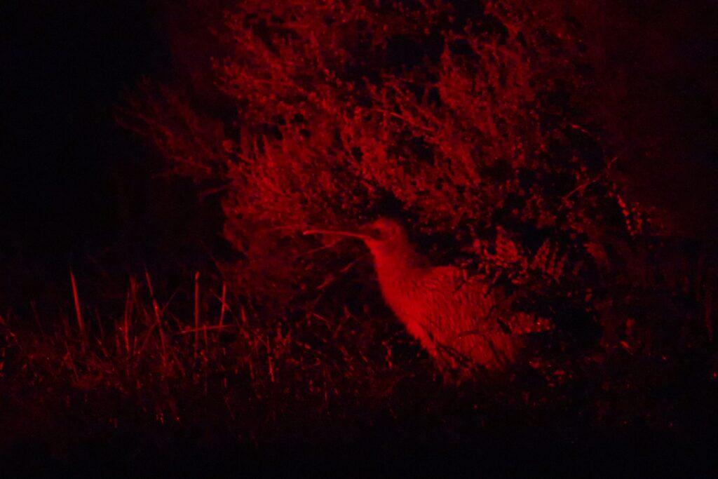 Image of a kiwi bird in the dark